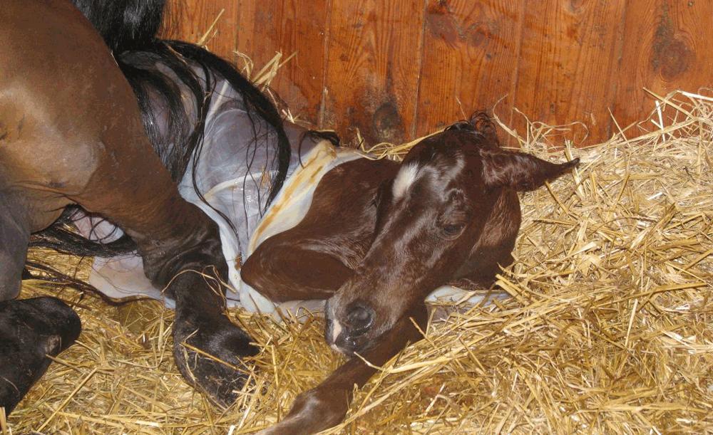 il parto e la nascita del puledro