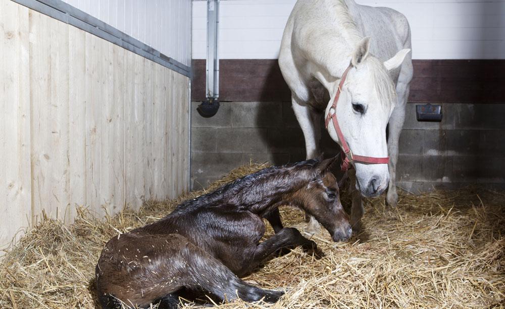 Perché è importante essere presenti alla nascita di un puledro?