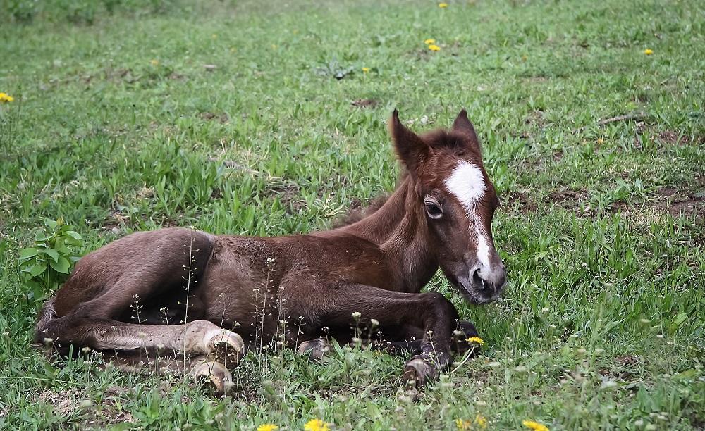 foaling ala