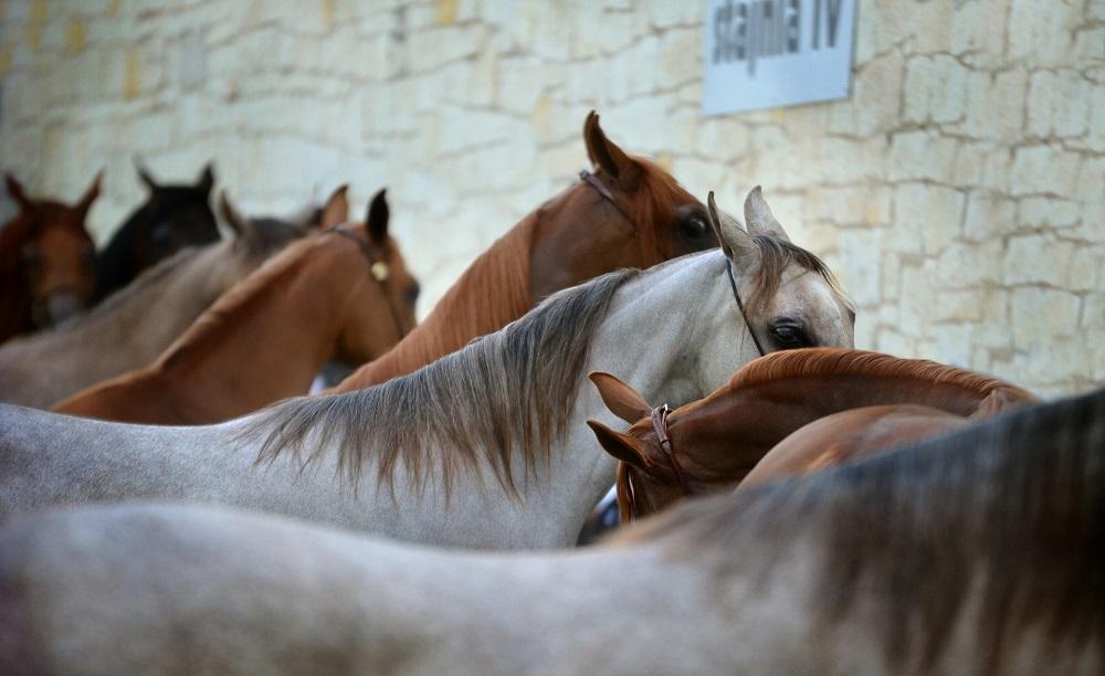 La scelta delle razze per l'allevamento di cavalli