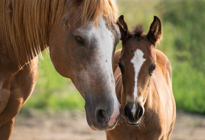 Nascita del puledro: l'aiuto è fondamentale | Foaling Alarm