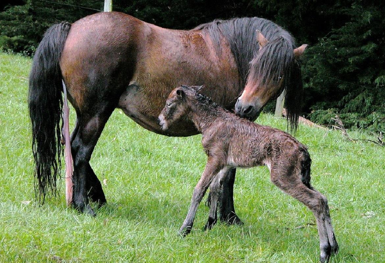puledro - foalingalarm