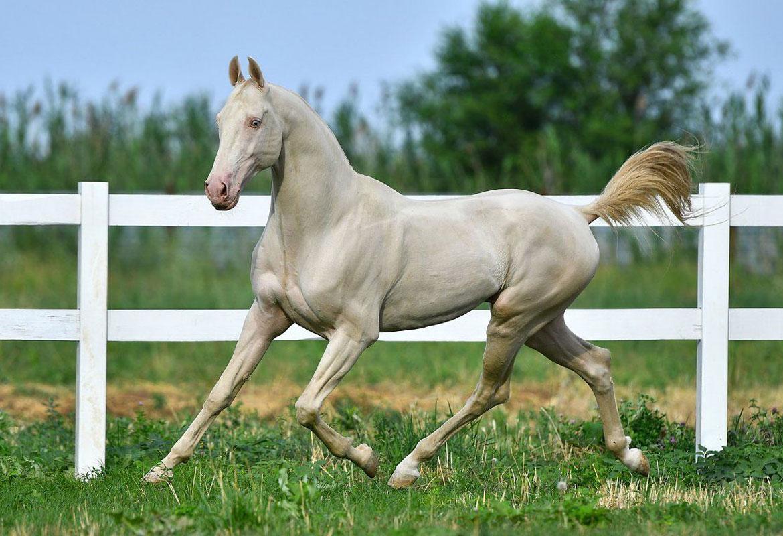 razza rara di cavallo albino